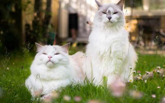 кошки, кот, пара, cvety, коты, cats, love,