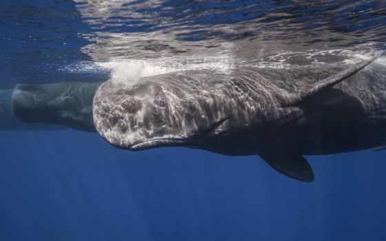 кит, кашалот, море