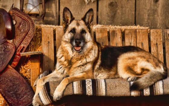 собака, алабар, авчарка
