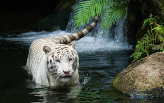 тигр, white, file