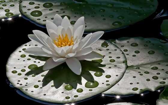 çiçek, resimleri, dråber, vand, гуль, arka, белая, gül, görüntüler, lily, nilüfer,
