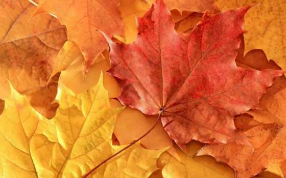 листва, осень, maple, природа,
