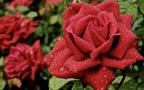 розы, роза, красивые, cvety, высокого, капли, лепестки, бутоны, красная,
