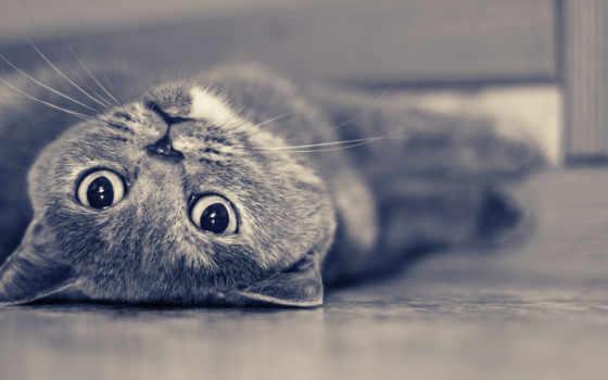 кошки, zhivotnye, британцы