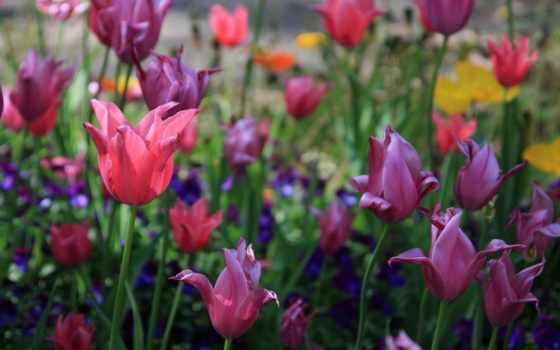 весна, cvety, тюльпаны, картинку, пришла, телефон, растения, мар,