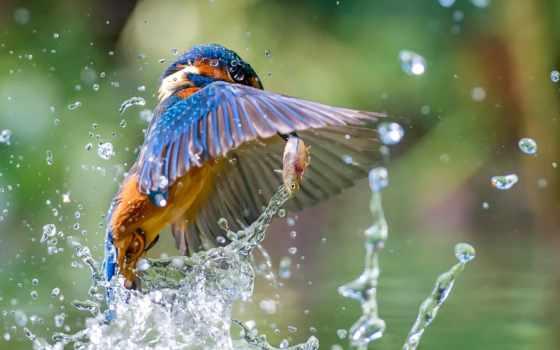 птица, animal, kingfisher, fish, water