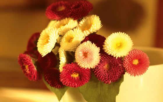 цветы, маргаритки