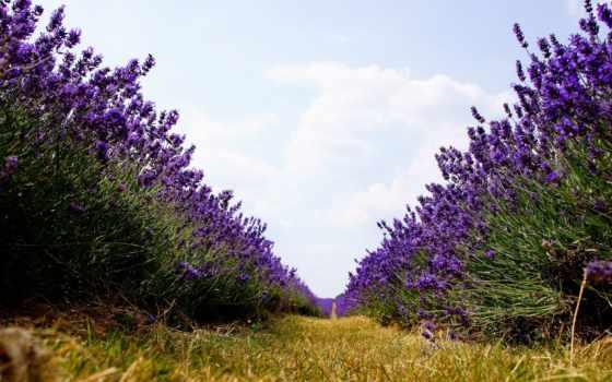 lavender, поле, цветы, широкоформатные, природа, страница,