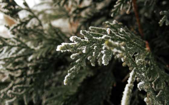 еловая, лапа, снег, ёль, branch, еловые,