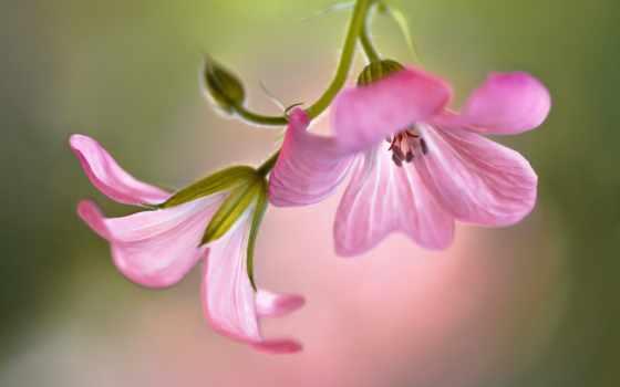cvety, flowers, герань, наполнен, утра, светом, природа, wild, был, сол,
