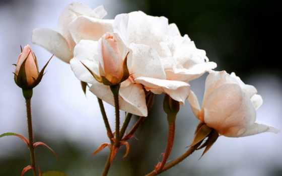ipad, мини, роза, air, розы, best, отдам,
