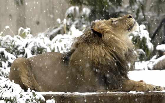снег, картинка, lion, beauty, животные, вверх, смотрит, снежинки, снегу, cold, winter,