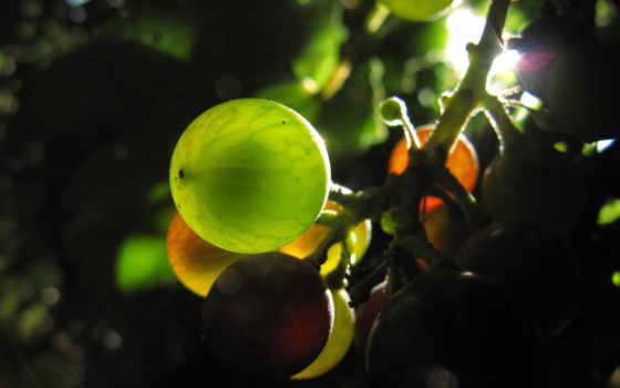 виноград французский