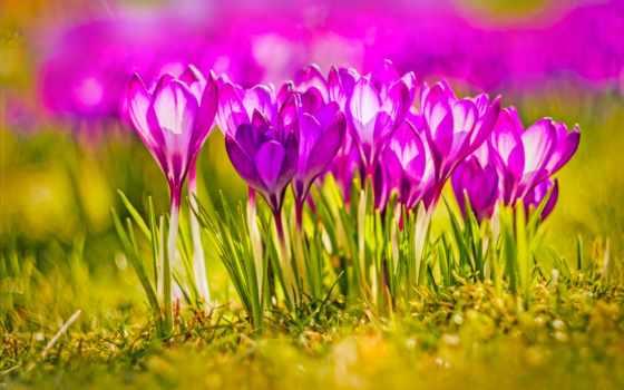 desktop, sfondi, крокусы, primavera, per, цветы, виола, весна,