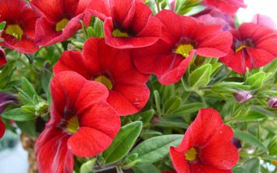 pulpit, petunia, tapety, ogrodowa, czerwona, tapet, zobacz, znajdziesz, дек,