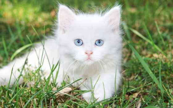 котенок, cute, white, кот, stock, kittens, фон, blue, eyes, shutterstock,
