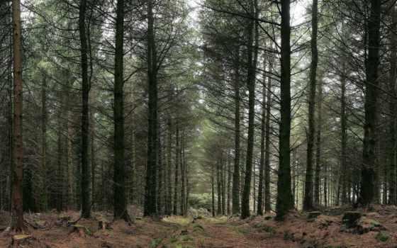лес, russian, trees, лесу, wpapers,