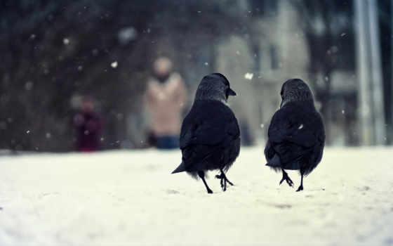 птица, снег, winter, ворона