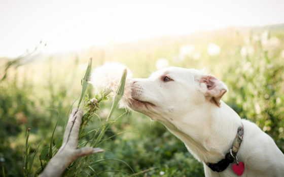 поле, цветок, собака