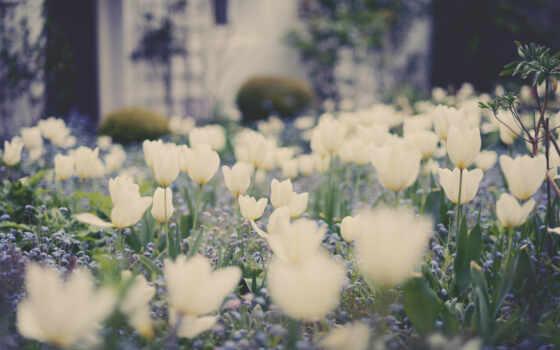 тюльпаны, white, белые
