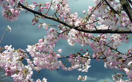 дерево, цветение, весна