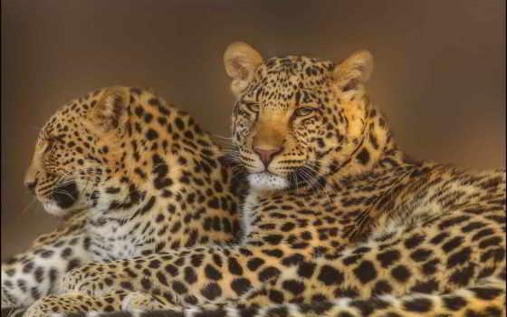леопард, смотреть, морда, pair, хищники, семья,