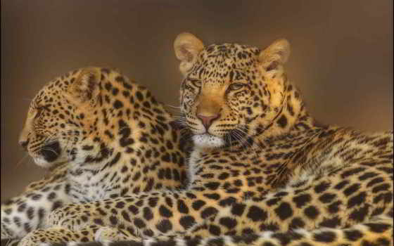 леопард, смотреть, морда