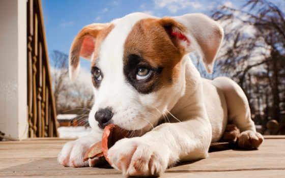 питбуль, щенок, boxer, mix, pitbull, собаки, щенки, собака,
