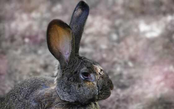 серьги, long, грызун, заяц, cottontail, pet, гора, браун, использование, кролик