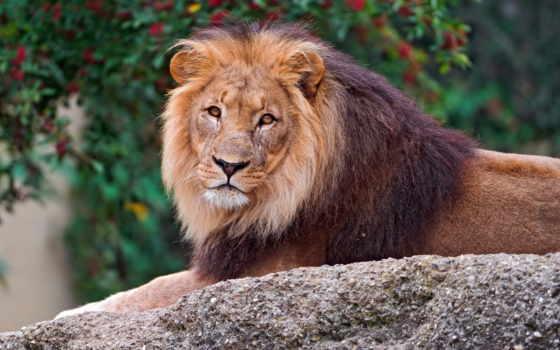 lion, смотрит, грива