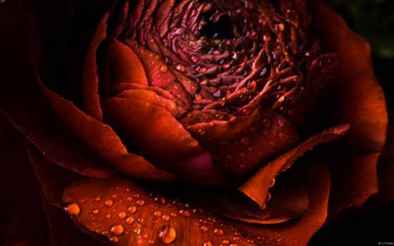 цветы, кб, роза
