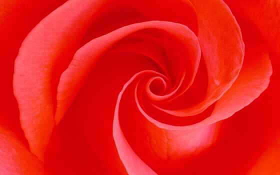 розы, роз, алые, цветы, часть, июл, mine, маленькие, розочки, love,