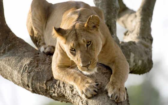 zhivotnye, львы, кошки, молодой, картинка, большие, one, день, жизни,