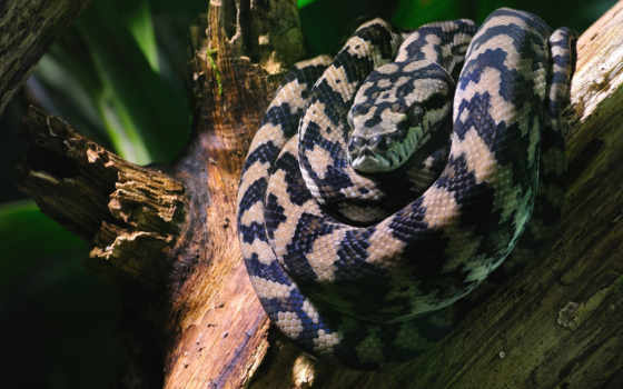 хищный, free, full, high, python,