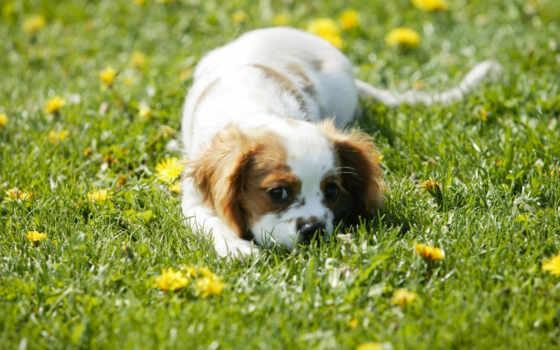 щенок, обои, фото, спаниеля, собаки, животные, спа