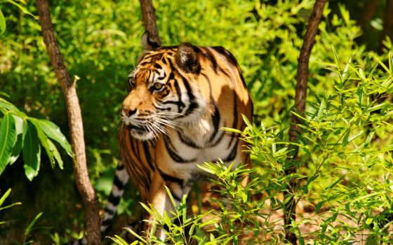 nvidia, тигры