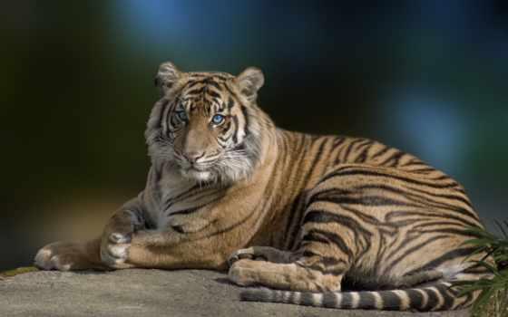 tiger, eyes