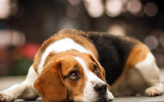 beagle, ответы, вопросы, уход, гав, purchase, feeding, щенка, тренировочный, content,