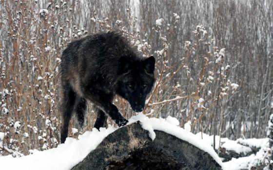 волк, black, лес