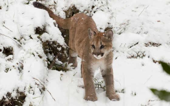 puma, zhivotnye, cougar, concolor, пумы,