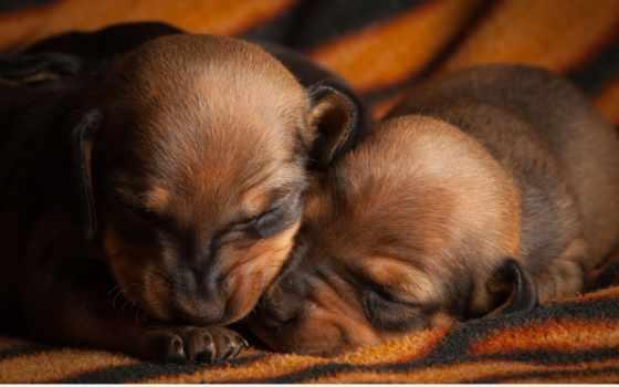 два, щенка, собаки, щенки,