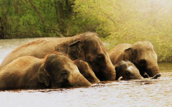 слоны, слон, воде, слонов, zhivotnye, семья, природа,