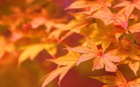 красивые, листва, кленовые, природа, макро, осени, рыжие,