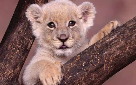 small, тигр, аватар, львенок, совсем, пританцовывает, собаку,