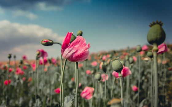poppies, poppy, розовый, papavers, red, flowers,