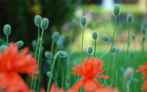 , маки, красивые, природа, cvety, поле,