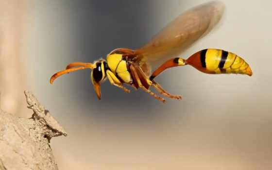 wasp, осы, osa, насекомые, назвали, wrzuta, honor, пл, летит, природа, полет,