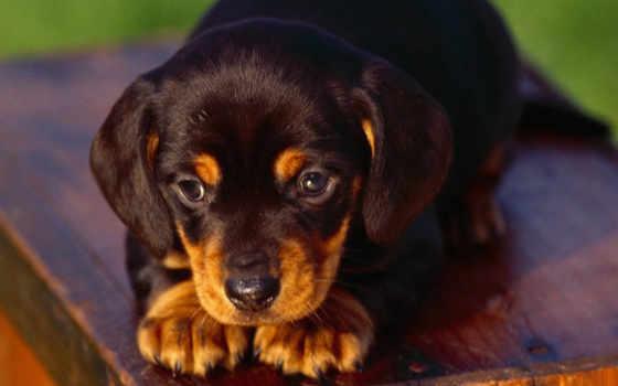 такса, таксы, щенки, щенок, video, собак, чихуахуа, собака,