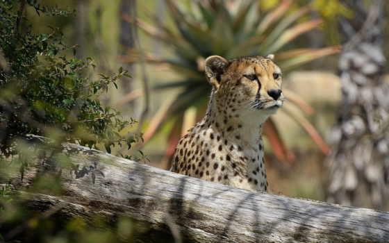 гепард, взгляд, морда