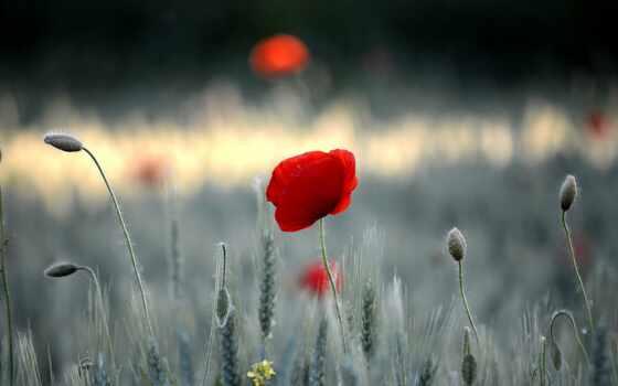 mac, поле, poppy, petals,